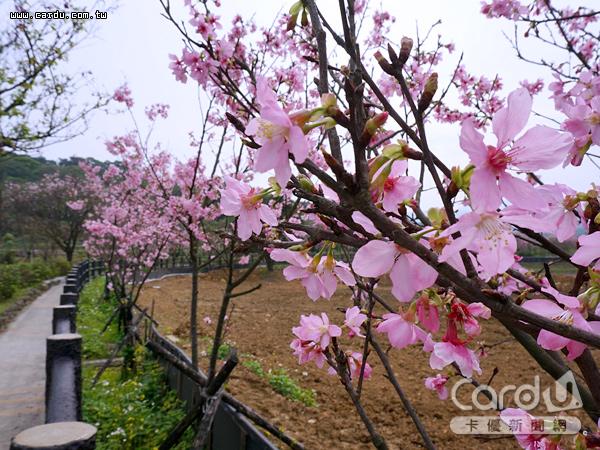 三芝區三生步道全長4公里步道兩側,栽植約400株櫻花樹,花開時漫步舒服又愜意(圖/新北市政府 提供)