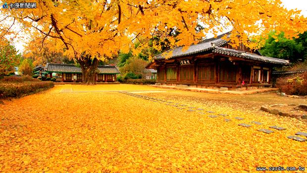 韩国秋天银杏树转黄,整片金黄色的银杏林道,浪漫满分(图/韩国观光公社