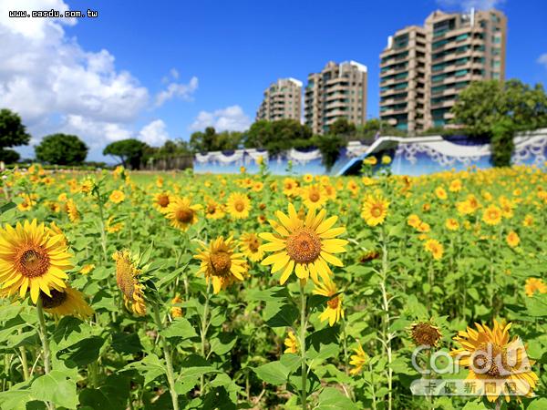 大直美堤河濱公園向日葵花海怒放,與湛藍天空形成強烈對比,是最佳拍照打卡點(圖/台北市政府 提供)
